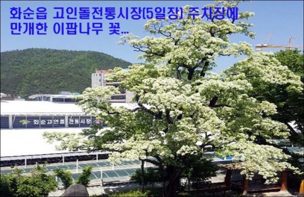 15일장 이팝나무.jpg