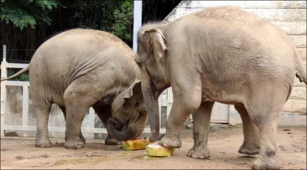 3. 얼음과자 먹는 아시아코끼리 모녀.JPG
