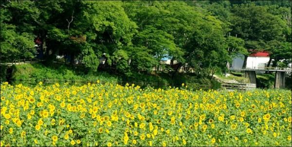 2.해바라기 꽃밭 사진2.jpg