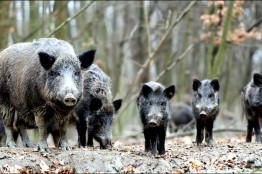 화순군, 야생멧돼지 등 유해 야생동물 931마리 포획