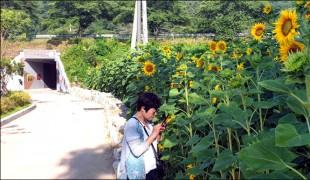 """화순 세량지 해바라기ㆍ찰옥수수ㆍ복숭아 """"반갑다"""""""