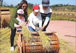 전남농업박물관서 전통 방식 벼 수확체험을